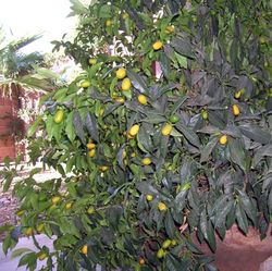 Kumquats-3