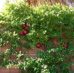 Espaliered-Pommegranates