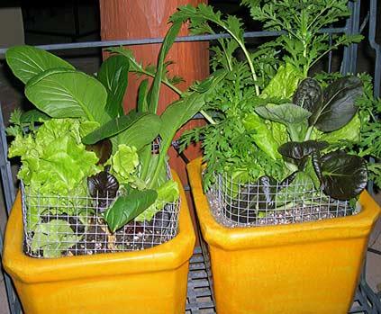 Lettuce-1