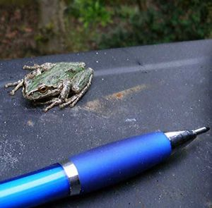 Pacific-Tree-Frog