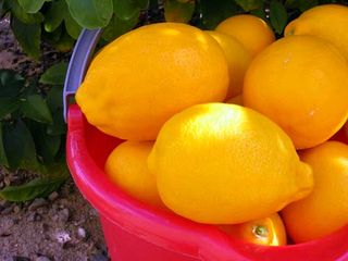 Bucket-Lemons