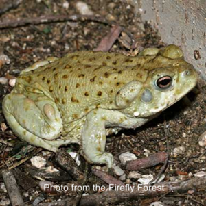 Sonoran-Toad